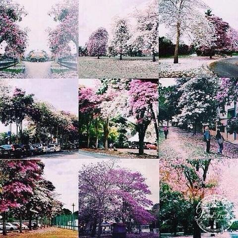 musim-bunga-Malaysia-20144